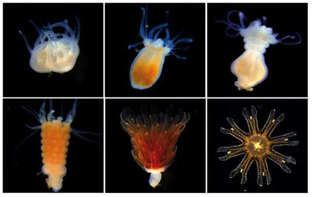 Fases de desarrollo de la medusa luna (aurelia aurita)